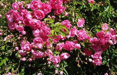 le rosier de l'accueil du haut de Mescran