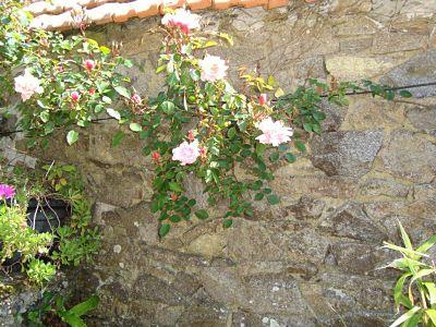 rosier grimpant de la courette